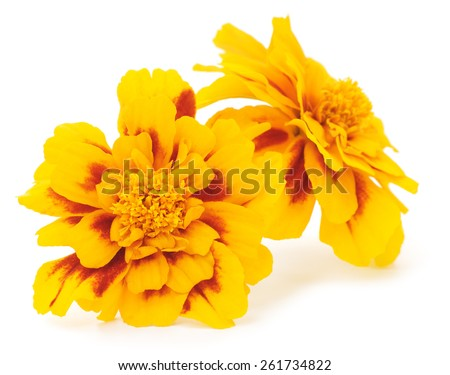 Two yellow flowers isolated on white background. - stock photo