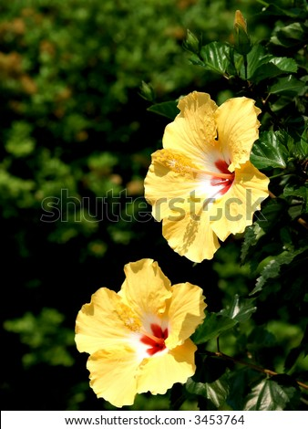 Two yellow Hibiscus flowers stand among greenery - stock photo