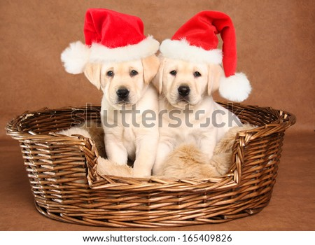 Two yellow lab Christmas puppies wearing Santa hats.  - stock photo