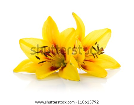 Two yellow lily. Isolated on white background - stock photo