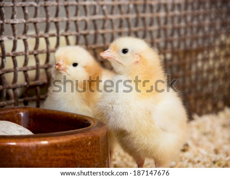 Two yellow little chicks. Poultry farming.