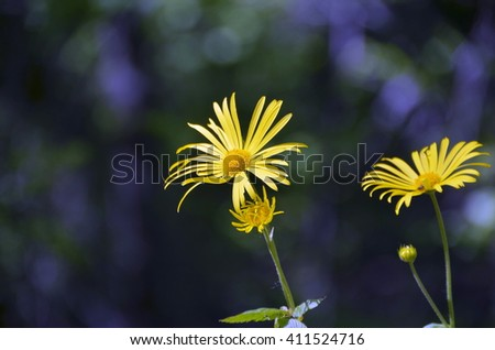 Two yellow mountain flower (Arnica montana) - stock photo
