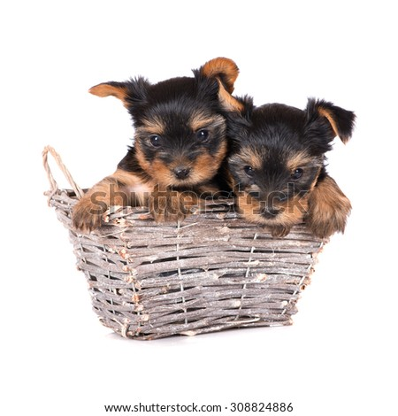 two yorkshire terrier puppies in a basket - stock photo