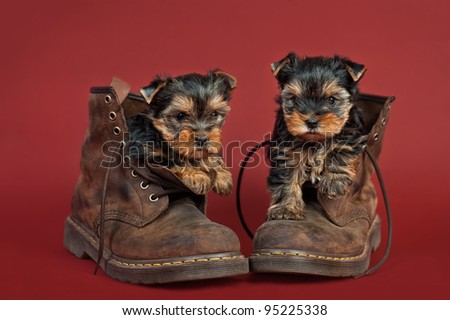 Two Yorkshire terrier puppies in work boots, on red background