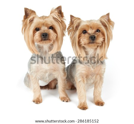 Two Yorkshire Terriers after grooming isolated on white