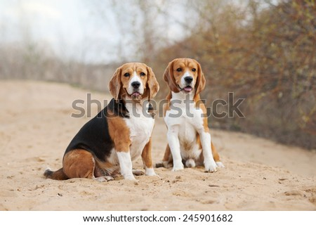 Two youang beagle dogs portrait in spring