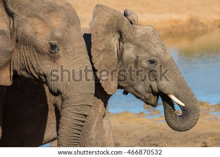 Two young African elephants at a water hole