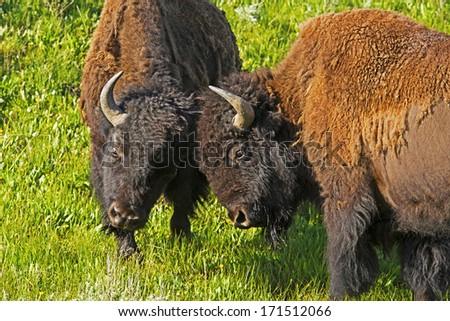 Two young Bison males play at fighting in Yellowstone. - stock photo
