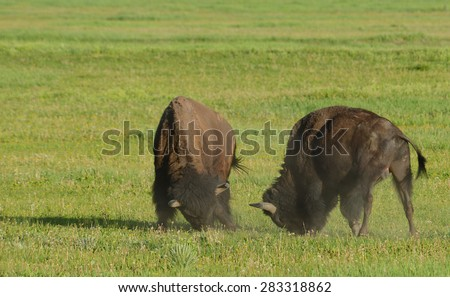 Two young Bison play at fighting. - stock photo