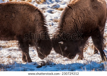 Two young bison sparring in Yellowstone National Park in the winter - stock photo