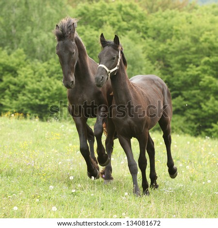 Two young black friesian horses running in nature