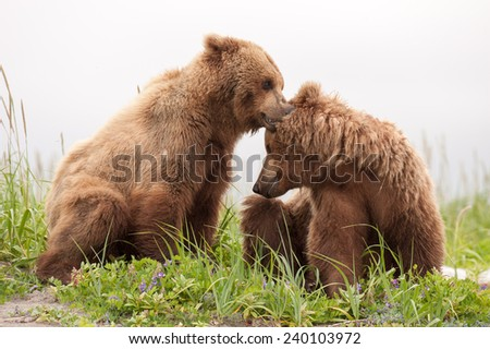 Two young brown bears, possibly siblings, play with each other while they take a break from fishing - stock photo