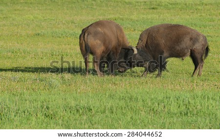 Two young bull Bison play at fighting. - stock photo
