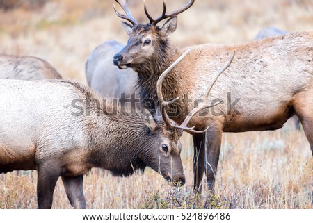 Two young bull elk grazing