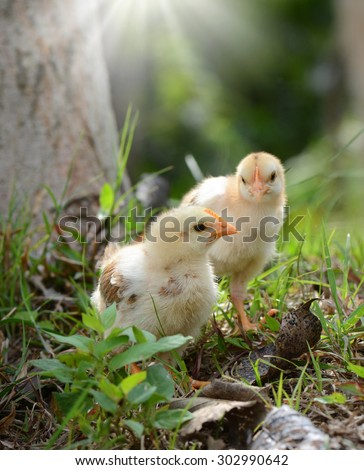 Two young chickens - stock photo