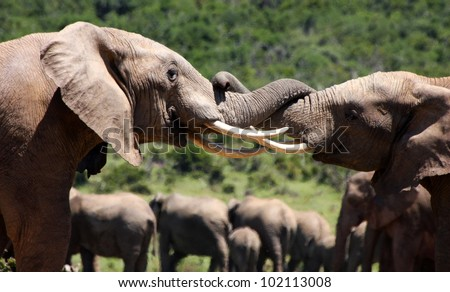 Two young elephant bulls trunk wrestle and fight for dominance during a herd gathering in Addo elephant national park,eastern cape,south africa