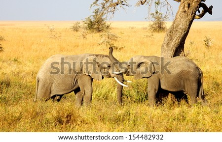 two young elephants are playing together on the savannah in Africa  - stock photo