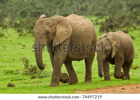two young elephants walking towards a water hole - stock photo