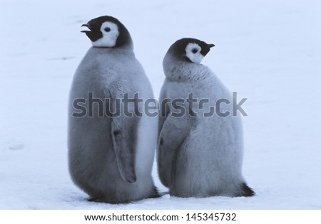 Two young Emperor Penguins standing back to back - stock photo