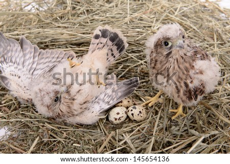 two young falcon bird sitting and lying with eggs in a straw nest - stock photo