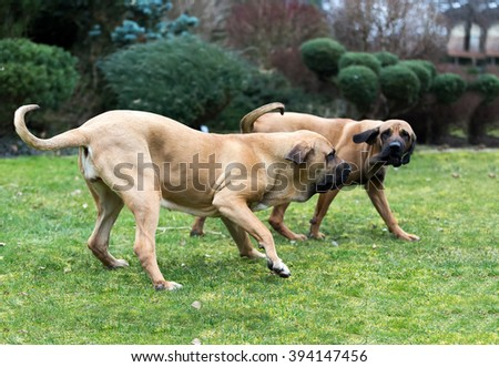 two young female of Fila Brasileiro (Brazilian Mastiff) playing outdoor on green grass - stock photo