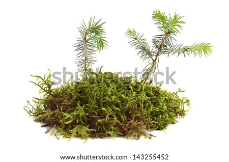 Two young fir trees growthing in moss on a white background - stock photo