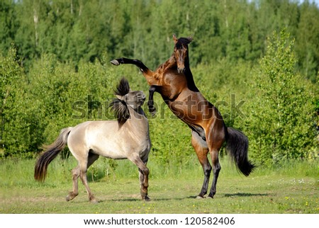 Two young horses playing in the field - stock photo