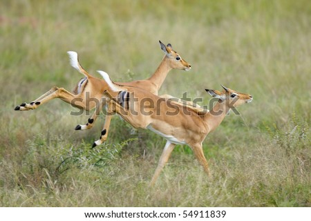 Two young impalas caught in action as they run away at a fast pace - stock photo