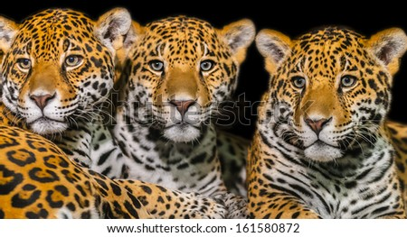 Two young Jaguars and their mother - stock photo