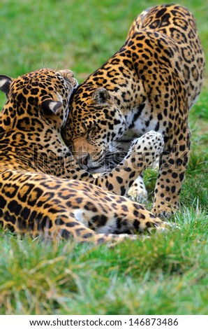 Two young Jaguars (Panthera onca) play fighting to hone their prey killing skills - stock photo