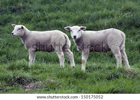 Two young lambs in the spring