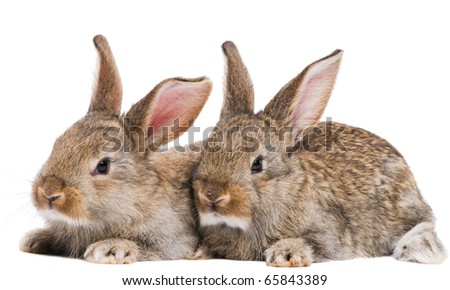 two young light brown rabbits with long ears isolated on white