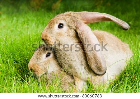 two young light brown rabbits with long ears on green grassy plot