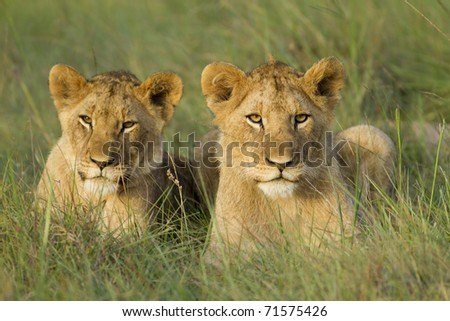 Two young lion cubs resting on a open grassland. - stock photo