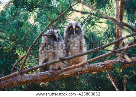 Two young long eared owls (Asio otus) sitting on a branch of pine tree. Pair of owlets. One owl is looking at camera and another is sleeping.  - stock photo