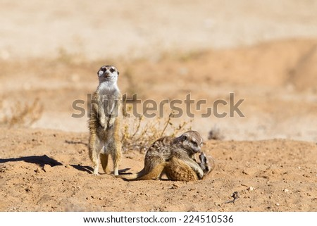 Two young Meerkats play fighting against a blurred natural background, and an adult on lookout, Kalahari Desert, South Africa - stock photo