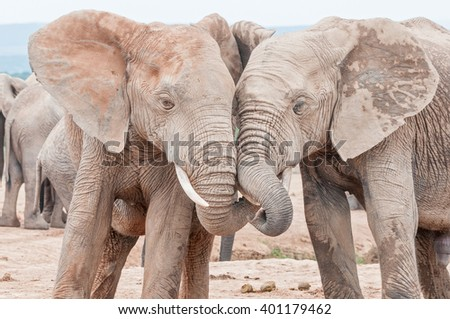 Two young, mud covered, African elephants, Loxodonta africana, interacting