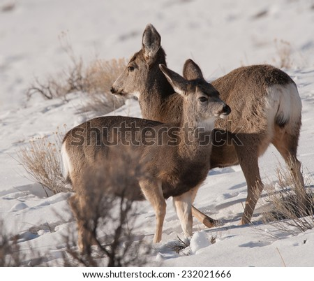 Two young mule deer interact with each other