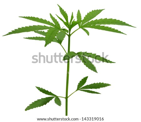 Two young new growing cannabis (marijuana) plants isolated on white - stock photo