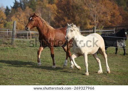 Two young ponnies running on autumn pasturage together - stock photo