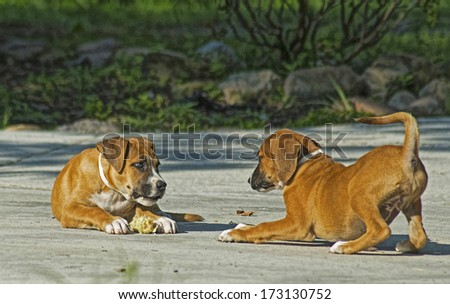 Two young puppies play with each other. - stock photo