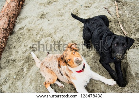 Two young Puppies Playing on Sandy Beach - stock photo