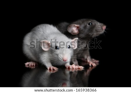 Two young rat on a black background with reflection - stock photo