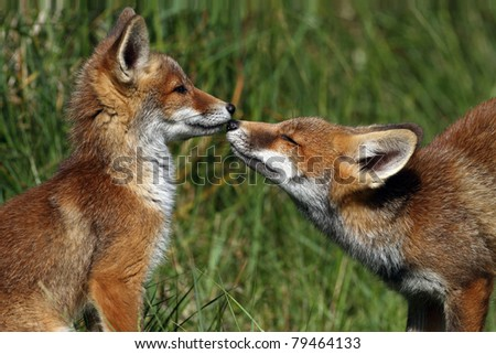 Two young red foxes with there nose to each other - stock photo