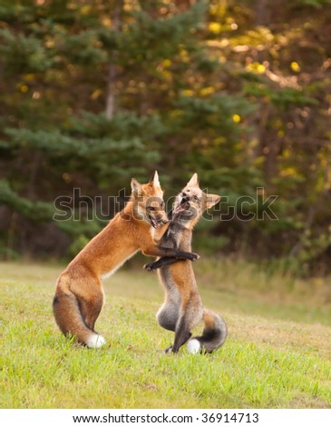 Two young red foxes wrestling at the edge of the forest - stock photo