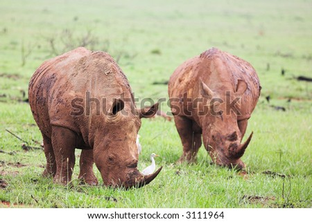 Two young rhinos feeding on fresh green grass in the Rietvlei Dam nature reserve, South Africa. The Rhino is covered in mud to ward of flies and other pests and is accompanied by a white Egret (bird) - stock photo