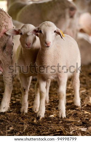 Two young sheep standing side by side in the barn - stock photo