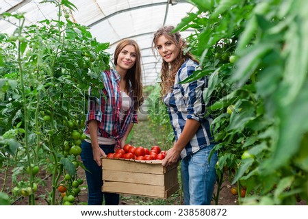 Two Young smiling agriculture women worker,harvesting tomatoes in greenhouse and a crate of tomatoes. - stock photo