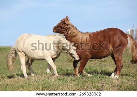 Two young stallions playing together on pasturage - stock photo