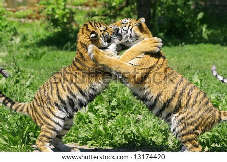 Two young tigers fighting and playing in green grass